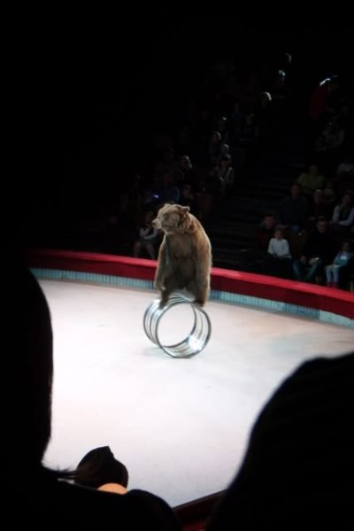 A Bear balancing on a steel drum at the moscow state circus