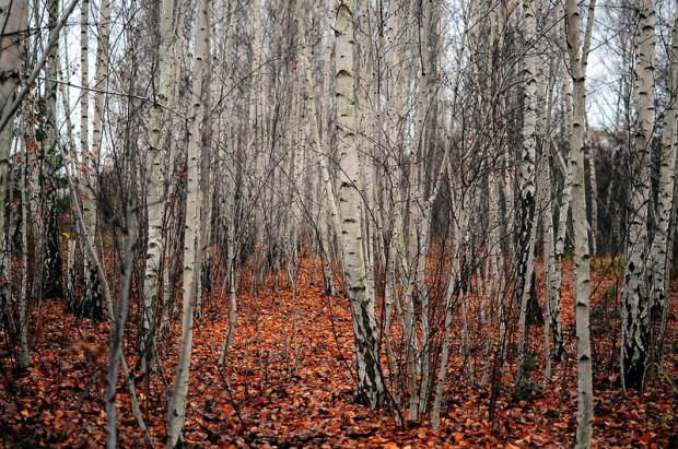 wild birch forest