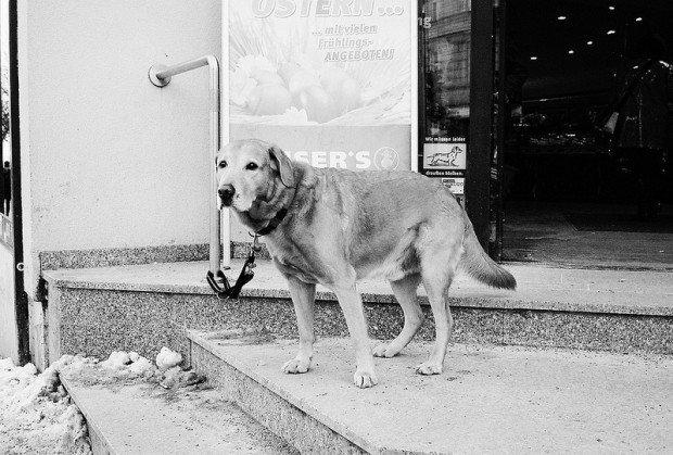 supermarket dog labrador