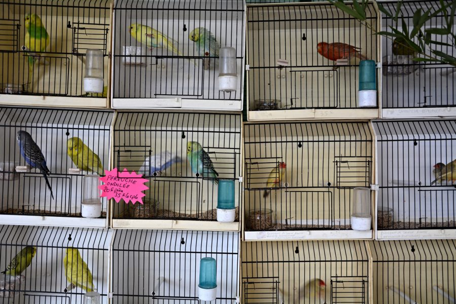 paris bird market france caged budgies Marche aux Oiseaux