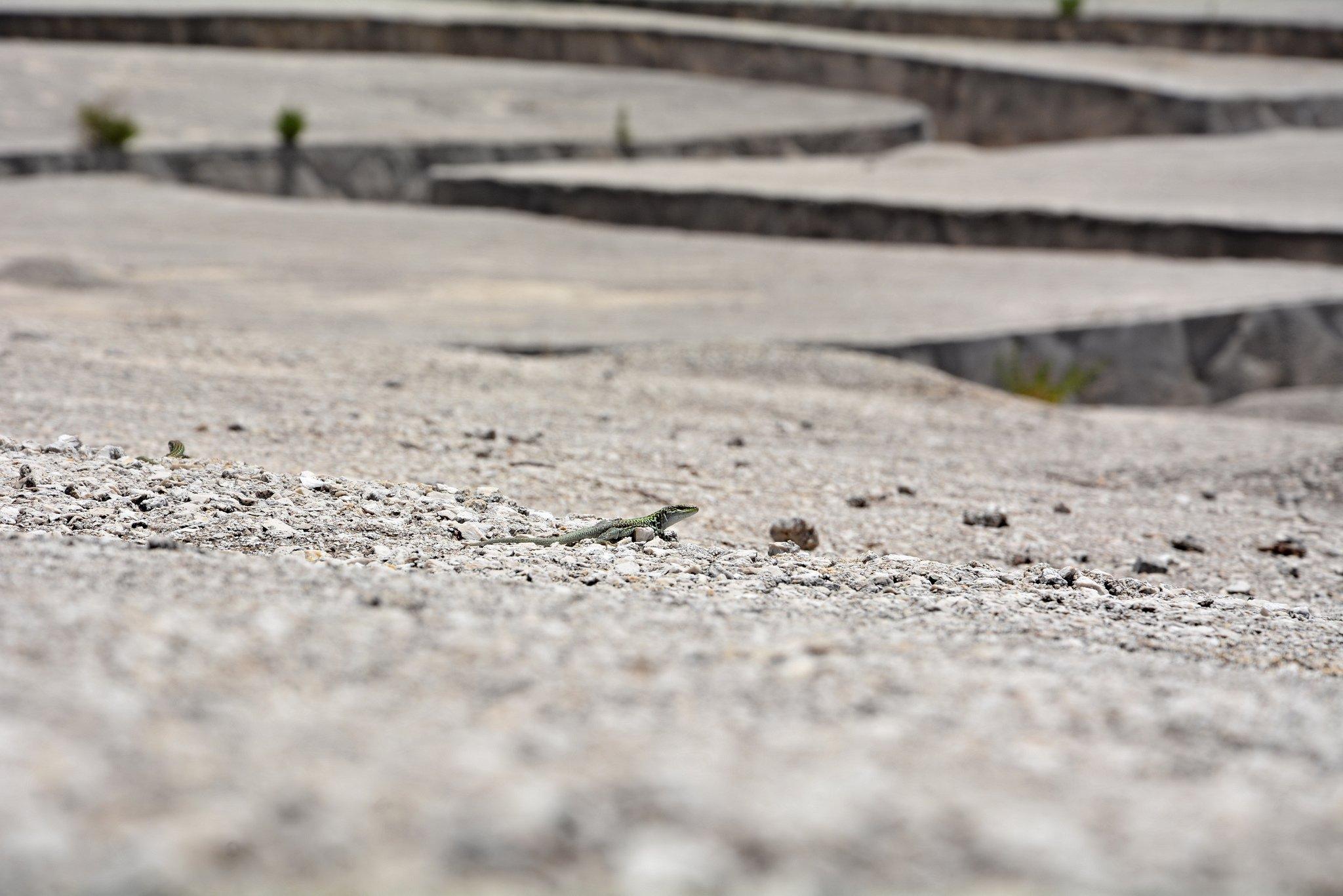 lizard gibellina sicily